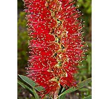 Bottle brush flower Photographic Print