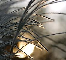 Miscanthus sinensis by Franz Roth
