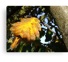 Autumn - yellow leaf close-up, Burntisland Canvas Print