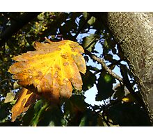Autumn - yellow leaf close-up, Burntisland Photographic Print