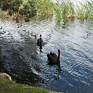 Black Swans by Mike Paget