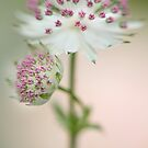 Love Amongst Astrantia by Jacky Parker