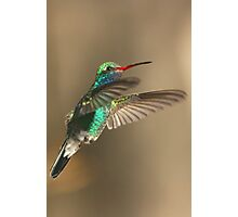 Hummingbird, Broad-billed, male Photographic Print