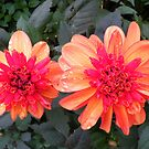 Double Dahlia by Rob Parsons