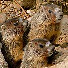 marmot pups by Rodney55