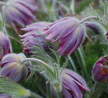 pasque flower by Rodney55