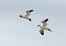 Gannets in flight by Andrew Jones