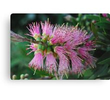Pink Bottle Brush Canvas Print