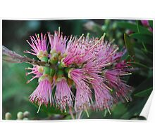 Pink Bottle Brush Poster