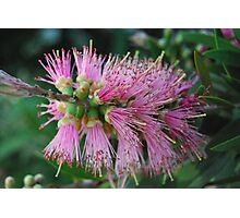 Pink Bottle Brush Photographic Print