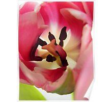 Pink Tulip Macro Poster