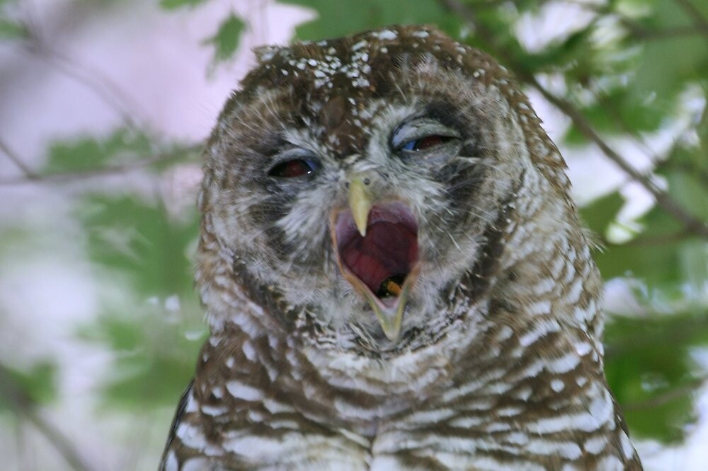 Quot Spotted Owl Mexican Sub Species Quot By Tonybat Redbubble