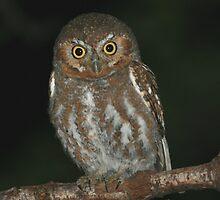 Elf Owl by tonybat