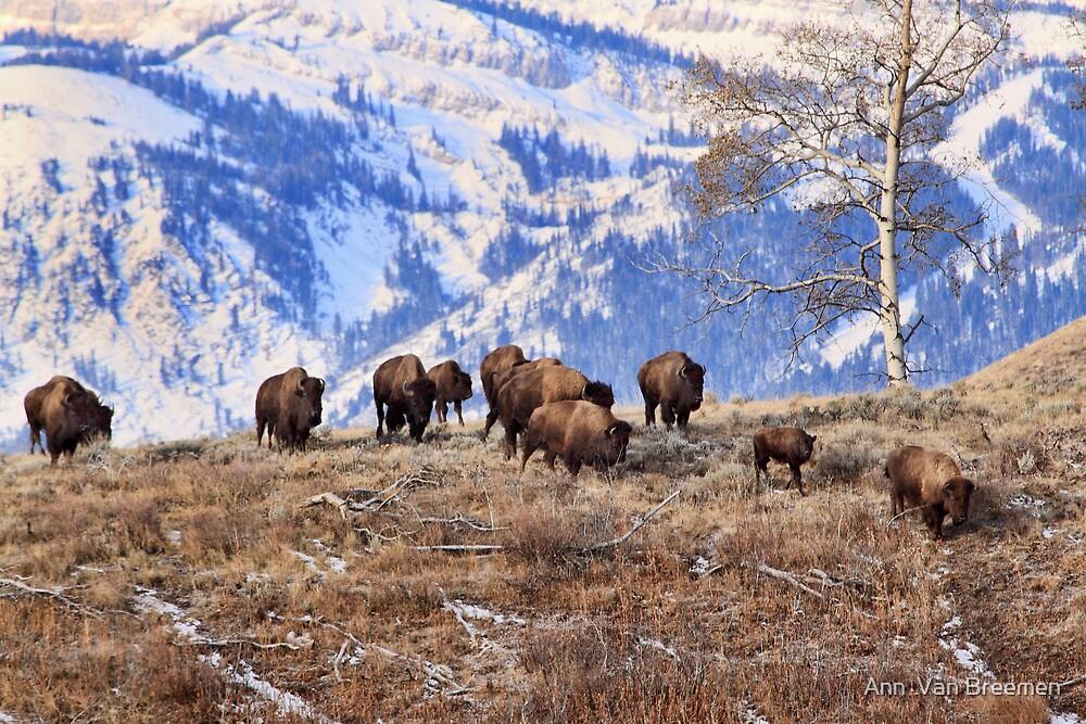 Bison on the Move, Teton N.P., Wyoming. by Ann  Van Breemen