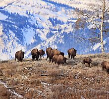 Bison on the Move, Teton N.P., Wyoming. by Ann  Van Breemen
