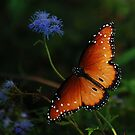 The Queen Butterfly by jphall