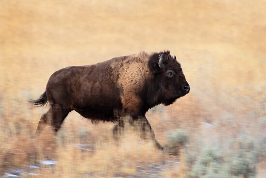 Running Bison, Teton N.P., Wyoming. by Ann  Van Breemen