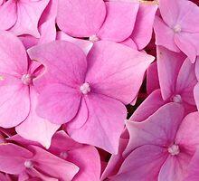 Pink Hydrangea by StinaStone