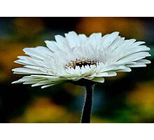 GERBERA IN WHITE - Gerbera in WIT Photographic Print