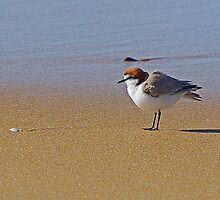 Red Capped Plover by UncaDeej