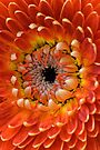 Orange Gerbera Curls by Renee Hubbard Fine Art Photography