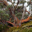 Tasmanian Eucalypt by Harry Oldmeadow