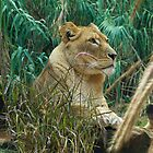 Lion Resting in the Grass by PhysioDave