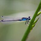 Damselfly by Steve Chapple