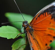 Orange Lacewing Butterfly by Tom Newman