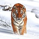 A Tiger in the Snow by GoWildScotland