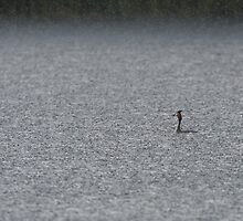 A Lonely Grebe by GoWildScotland
