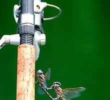 Dragonflies Mating by Ilana Brumble