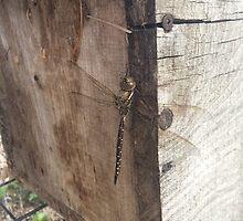 Dragonfly on Wood by silverdragon