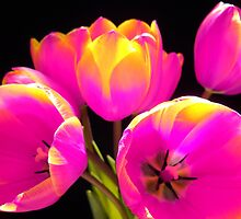 Colours Tulips by Vitta