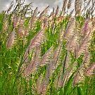 Sugar cane flowers by Yves Rubin