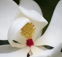 Magnolia by jpulley