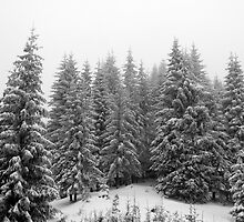 Fir tree forest in hard winter. by demigod