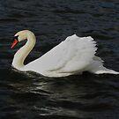 A swan in movement by loiteke