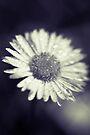 I heart daisies by Adriana Glackin