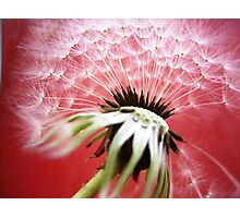 Dandylion family (seriesIV)!...  Photographic Print