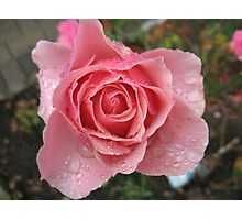 Pink Sprinkles  Rose Photographic Print