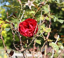 Rose surrounded by thorns by Katie Catano