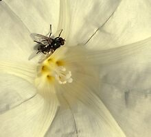 Fly in poetic mood by steppeland