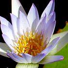 White Water Lily by Sophia Flot-Warner