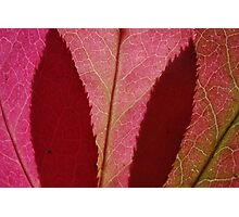 spindle tree leaves Photographic Print