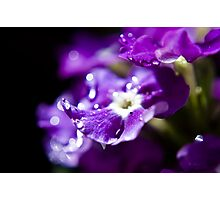 Purple Raindropped Petals Photographic Print