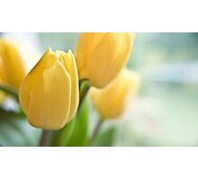 Yellow Tulips. Photographic Print