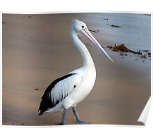 Pelican on Long reef beach Poster