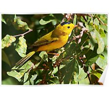 Wilson's Warbler - Red Rock Canyon Poster