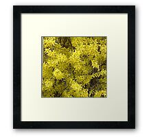 Forsythia Glory....title by jules572....Thank You jules!! Framed Print